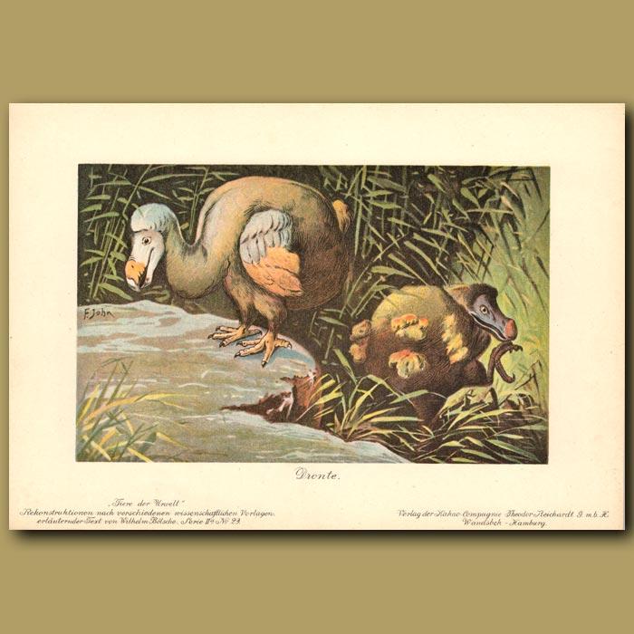 Antique print. Dodo Birds