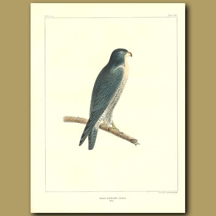 Antique print. Falcon