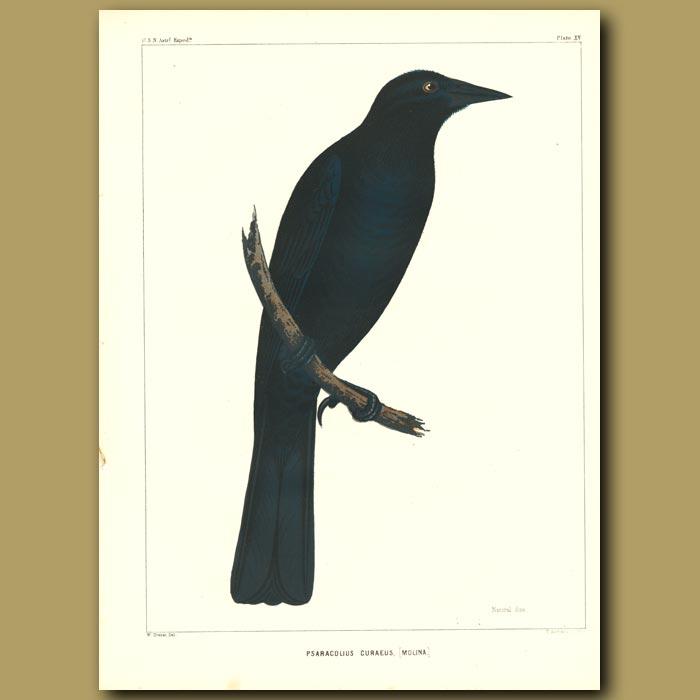 Antique print. Chilean Blackbird