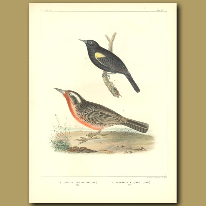 Antique print. Yellow-Winged Blackbird And Red-Breasted Blackbird