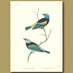 Blue-Necked Tanager And Golden-Hooded Tanager