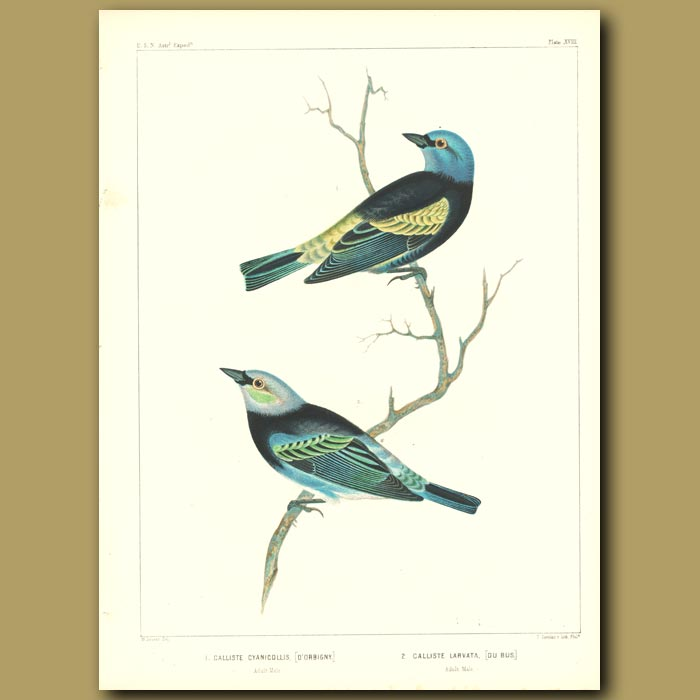 Antique print. Blue-Necked Tanager And Golden-Hooded Tanager