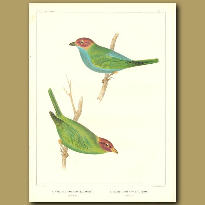 Antique print. Peruvian Tanager