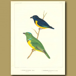 Rufouse-Bellied Euphunia And Blue-Crowned Chlorophonia