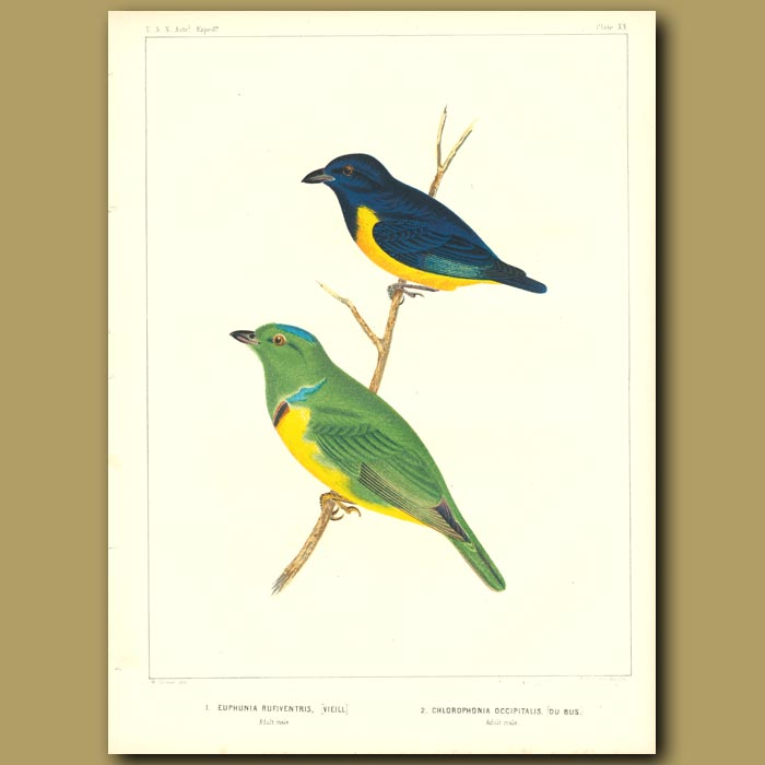 Antique print. Rufouse-Bellied Euphunia And Blue-Crowned Chlorophonia