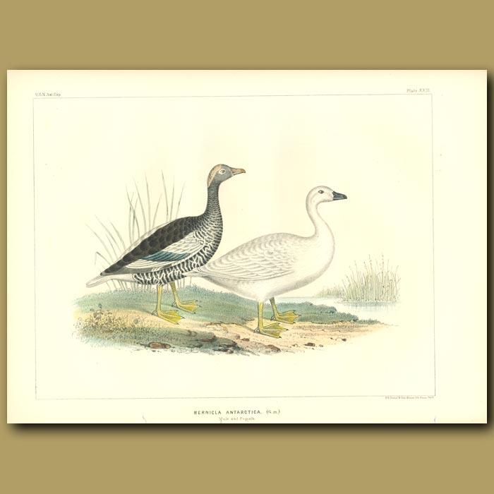 Antique print. Barnacle Geese