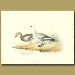 Magellan Geese