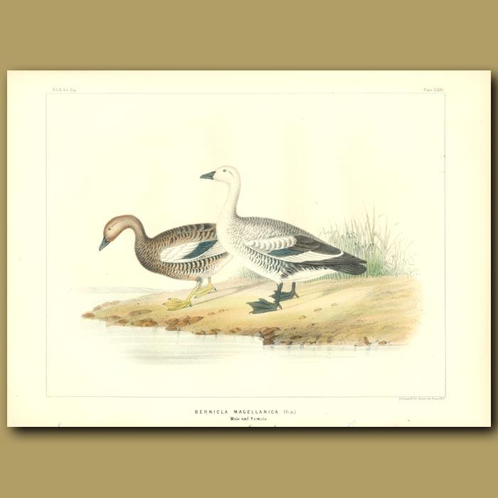 Antique print. Magellan Geese