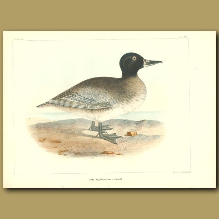 Antique print. South American Black-Headed Duck