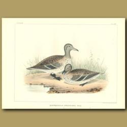 Teal Ducks