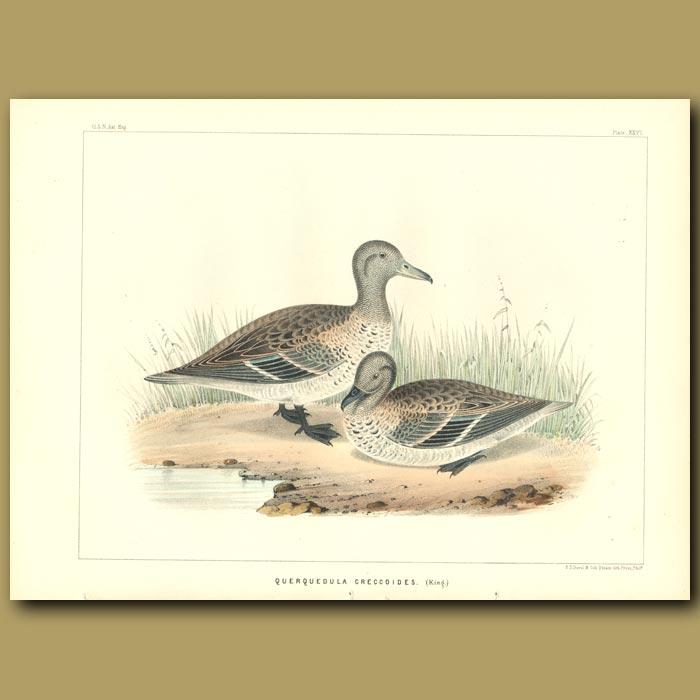 Antique print. Teal Ducks