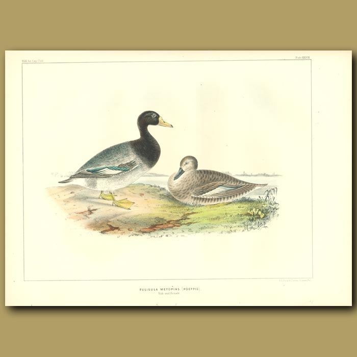 Antique print. Crestless Ducks