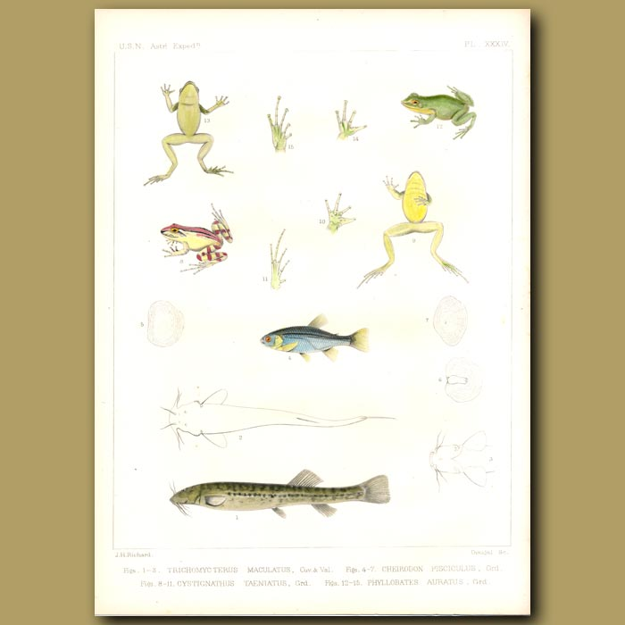 Antique print. Frogs And Fish