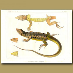 Spotted False Monitor Lizard
