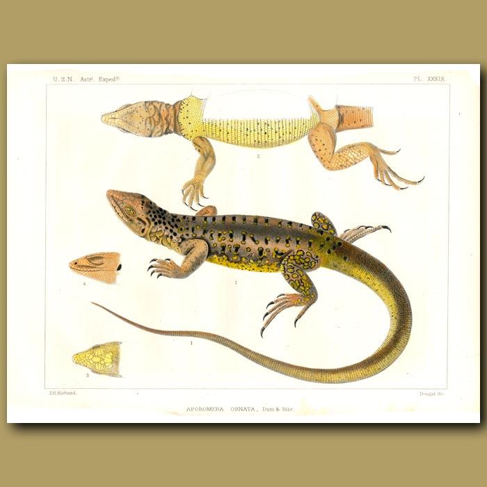 Antique print. Spotted False Monitor Lizard