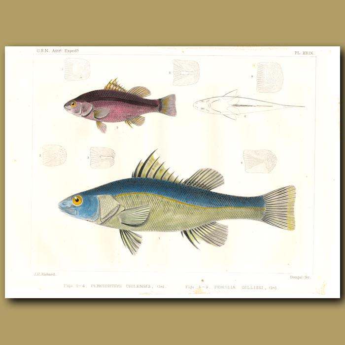 Antique print. South American Perch