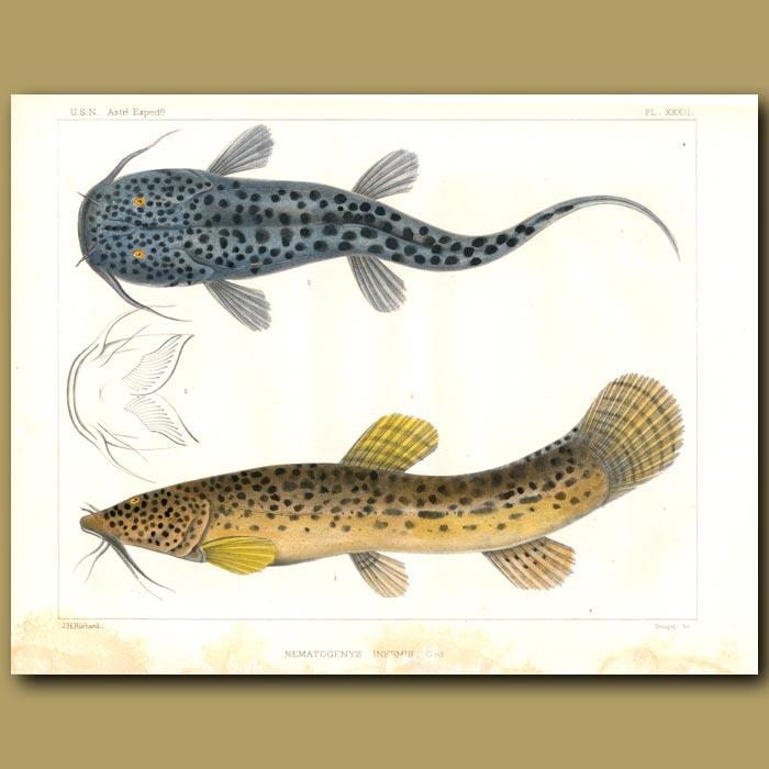 Antique print. Catfish