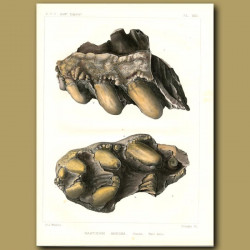 Fossil Mastodon Jaw