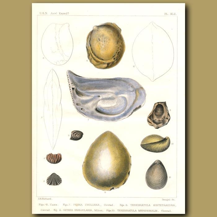 Antique print. Fossil Shells