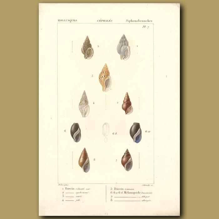 Antique print. Spiral Shells