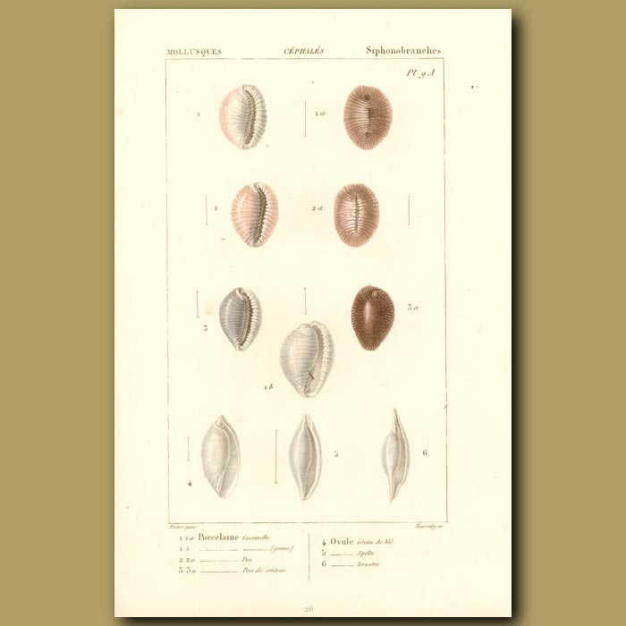 Antique print. Porcelain Shells