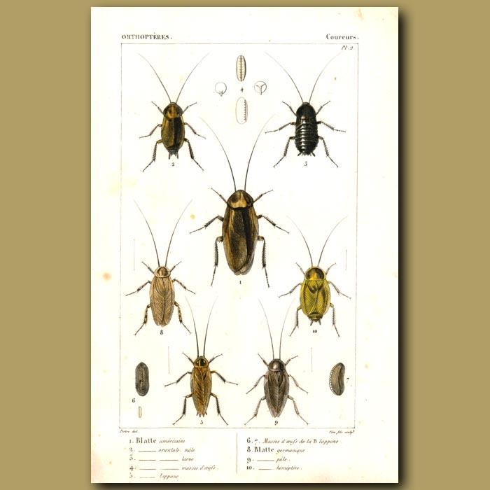 Antique print. Cockroaches