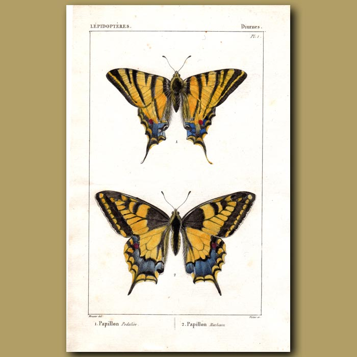 Antique print. Swallowtail Butterfly