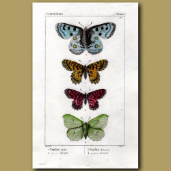 Apollo And Other Butterflies