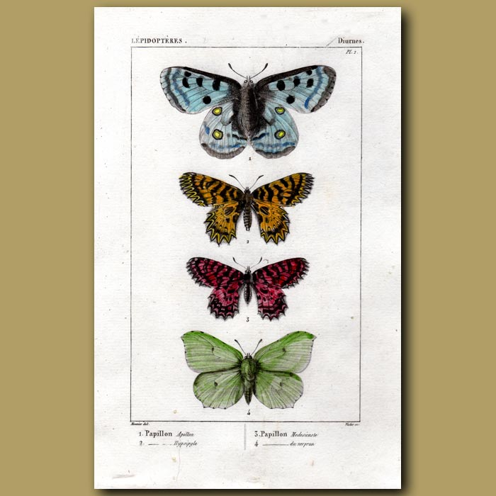 Antique print. Apollo And Other Butterflies
