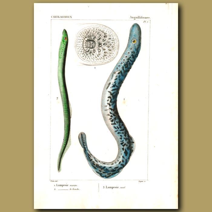 Antique print. Lamprey Eels