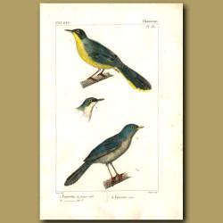 Warbler Birds