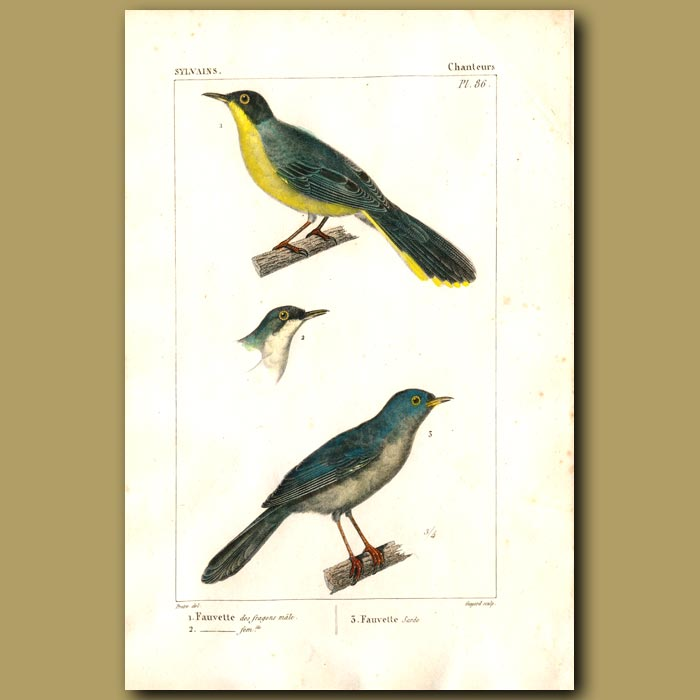 Antique print. Warbler Birds