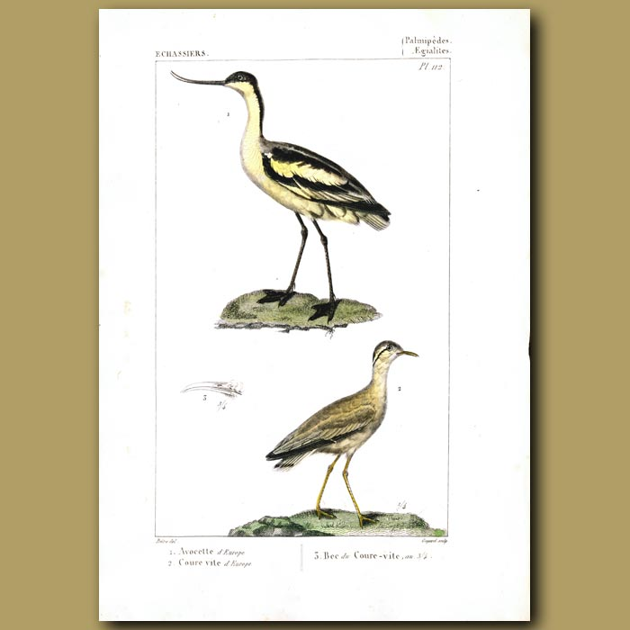 Antique print. Avocet and Courser Birds
