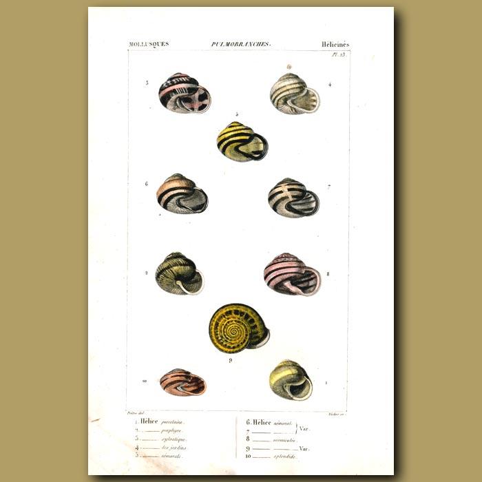 Antique print. Helix Shells