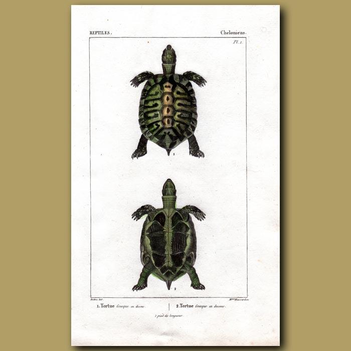 Antique print. Tortoise