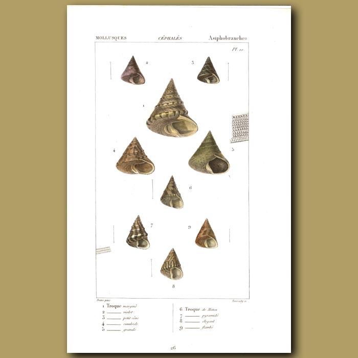 Antique print. Troque (Top) Shells