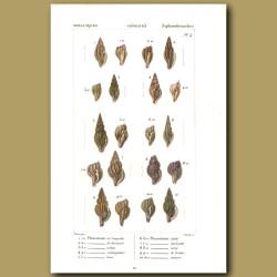 Plerotome Shells