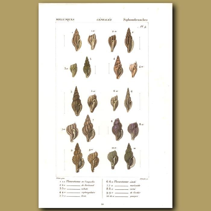 Antique print. Plerotome Shells