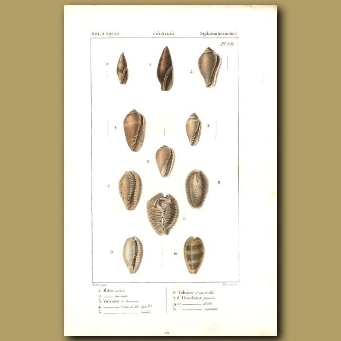 Antique print. Mitre, Volvaire And Porcelain Shells