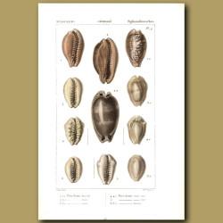 Porcelain Cowrie Shells