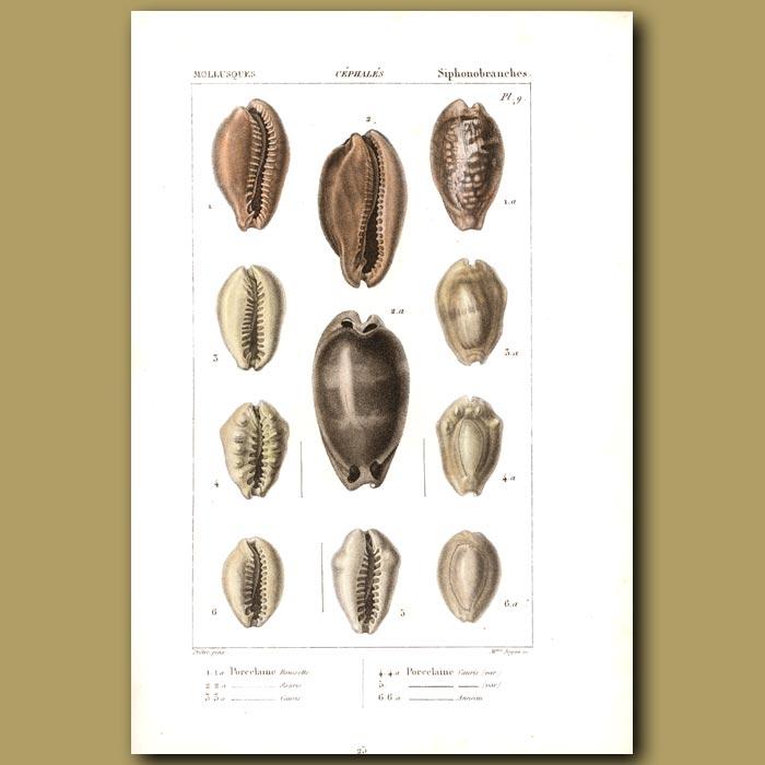 Antique print. Porcelain Cowrie Shells