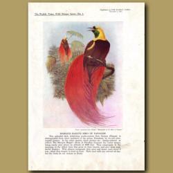 Marquis Raggi's Bird Of Paradise