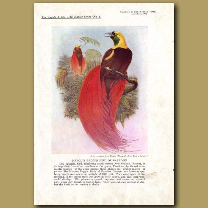 Antique print. Marquis Raggi's Bird of Paradise