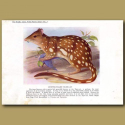 Spotted-tailed Tiger-cat or Tiger Quoll