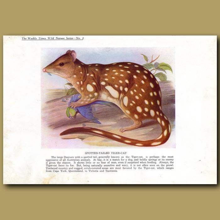 Antique print. Spotted-tailed Tiger-cat or Tiger Quoll