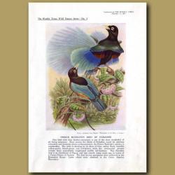 Prince Rudolph's Bird Of Paradise