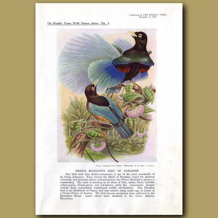 Antique print. Prince Rudolph's Bird of Paradise