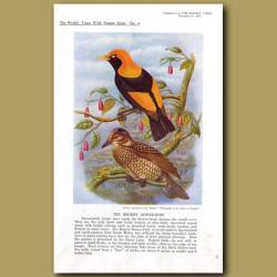 The Regent Bower-Bird