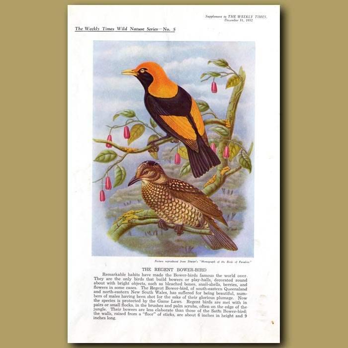 Antique print. The Regent Bower-bird