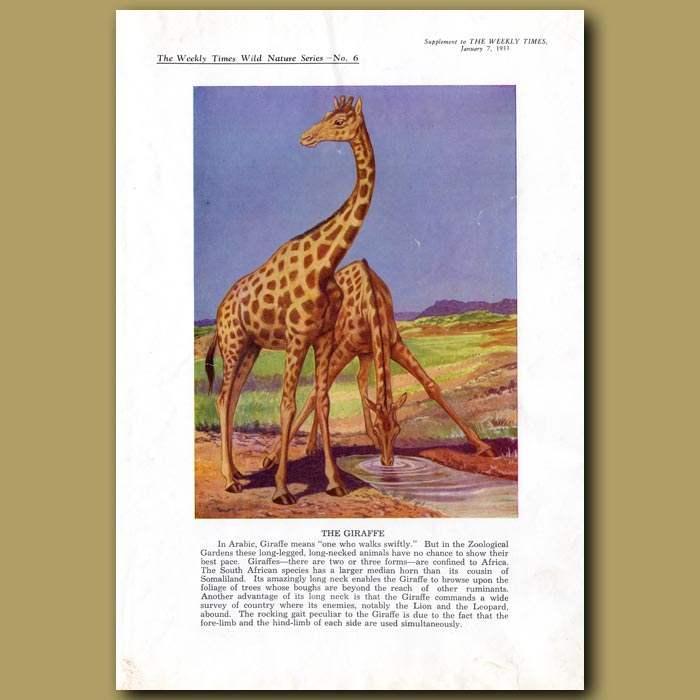 Antique print. The Giraffe